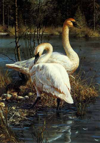 White Elegance – Trumpeter Swans- Signed By The Artist – PaperLithograph – Limited Edition AP – 950S/N – 18 1/2x12 7/8