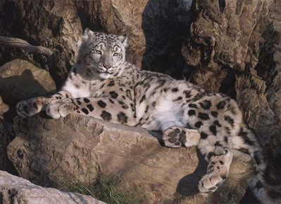 Ghost Cat – Snow Leopard- Signed By The Artist								 – Canvas Giclee – Limited Edition – 50 A/P – 32 x 44 –