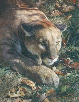 Stalking Cougar- Signed By The Artist – PaperLithograph – Limited Edition – 650S/N – 29 1/2x23