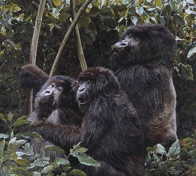 Mountain Gorillas- Signed By The Artist – PaperLithograph – Limited Edition – A/P – 17 3/4x19