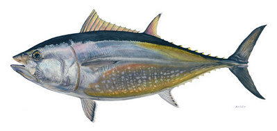Bluefin Tuna- Signed By The Artist – CanvasGiclee  – Limited Edition  – 50S/N  –  22x40