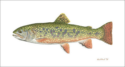 Pennsylvania Brook Trout- Signed By The Artist – CanvasGiclee  – Limited Edition  – 75S/N  –  8x14