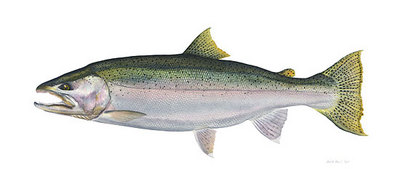 Steelhead Trout- Signed By The Artist – CanvasGiclee  – Limited Edition  – 50S/N  –  12x25