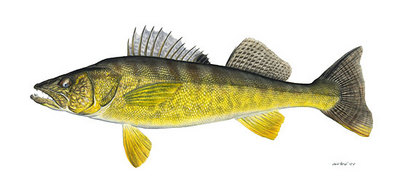 Walleye- Signed By The Artist – CanvasGiclee – Limited Edition – 50S/N – 12x25