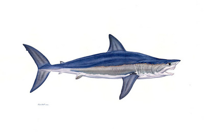 Alpha Shortfin Mako- Signed By The Artist – CanvasGiclee  – Limited Edition  – 25S/N  –  26x39