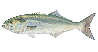Bluefish- Signed By The Artist – CanvasGiclee  – Limited Edition  – 75S/N  –  8x15