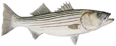 Mature Striped Bass- Signed By The Artist – CanvasGiclee – Limited Edition – 75S/N – 7x14