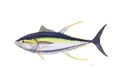 Trophy Yellowfin Tuna- Signed By The Artist – CanvasGiclee  – Limited Edition  – 25S/N  –  26x39