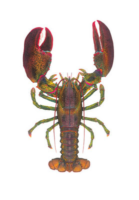 World Record Lobster- Signed By The Artist – CanvasGiclee  – Limited Edition  – 15S/N  –  54x40