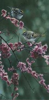 Blossom Dance – Golden Crowned Kinglet- Signed By The Artist – PaperLithograph  – Limited Edition  – 76A/P  –  22x6 3/8