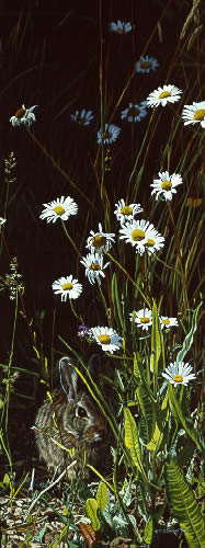 Spring Shadows – Cottontail- Signed By The Artist – PaperLithograph – Limited Edition – 1250S/N – 18x6