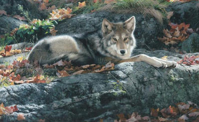 Cozy Ledge – Coyote- Signed By The Artist – CanvasGiclee  – Limited Edition  – 180S/N  –  12x19
