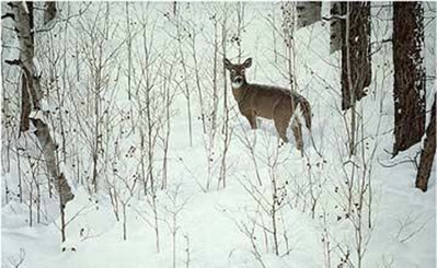Deep Snow – Whitetail- Signed By The Artist – PaperLithograph – Limited Edition – 76A/P – 18 3/4x28