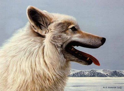 Arctic Wolf Portrait- Signed By The Artist – PaperLithograph – Limited Edition – 950S/N – 11 3/4x14 1/2