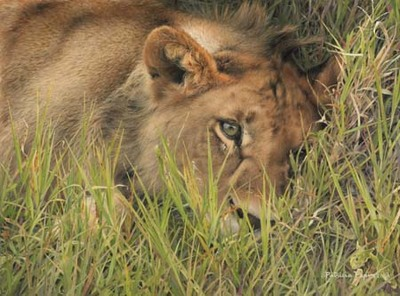 Young Pirate Of The Mara- Signed By The Artist – CanvasGiclee – Limited Edition – 180S/N – 12x16