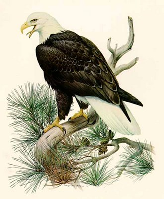 Bald Eagle- Signed By The Artist – PaperLithograph  – Limited Edition  – 56A/P  –  27x20