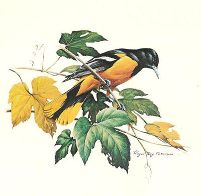 Baltimore Oriole- Signed By The Artist – PaperLithograph  – Limited Edition  – 56A/P  –  17x17