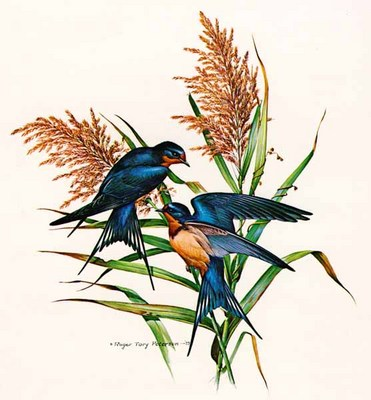 Barn Swallow- Signed By The Artist – PaperLithograph  – Limited Edition  – 20P/P  –  17x17
