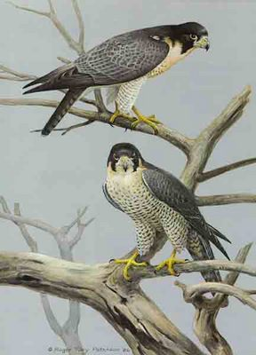 Lord Of The Air – Peregrine Falcon- Signed By The Artist – PaperLithograph – Limited Edition – 950S/N – 18 3/8x13 3/8