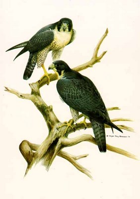 Peregrine Falcon- Signed By The Artist – PaperLithograph – Limited Edition – 950S/N – 28x22 –