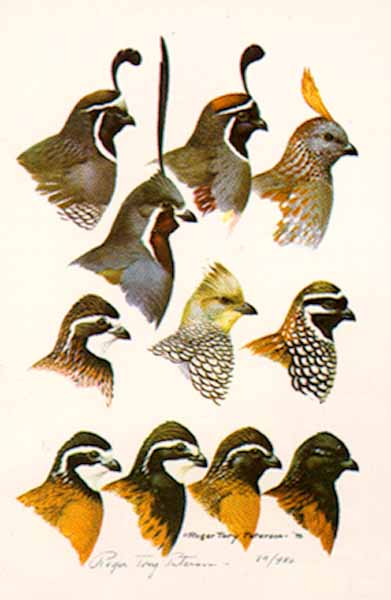 Quails – Color Plate #9- Signed By The Artist – PaperLithograph – Limited Edition – 950S/N – 21 1/2x14