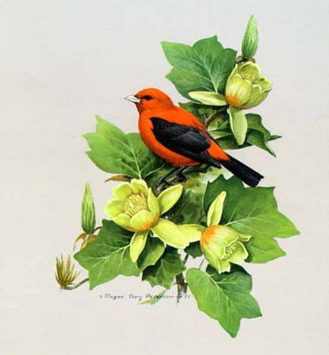 Scarlet Tanager- Signed By The Artist – PaperLithograph – Limited Edition – 950S/N – 16x14