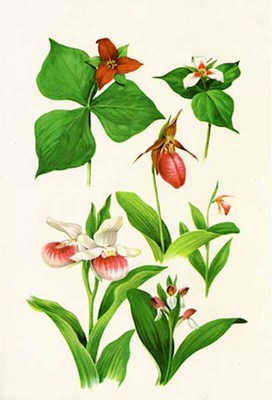 Wild Orchids And Trilliums- Signed By The Artist								 – Paper Lithograph – Limited Edition – 450 S/N – 17 x 11