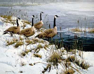 Among The Cattails – Canada Geese- Signed By The Artist								 – Paper Lithograph – Limited Edition – 950 S/N – 22 5/8 x 27 3/8 –