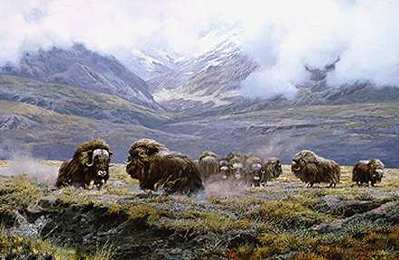 Autumn Thunder – Muskoxen- Signed By The Artist – PaperLithograph  – Limited Edition  – 950S/N  –  19x28 1/4