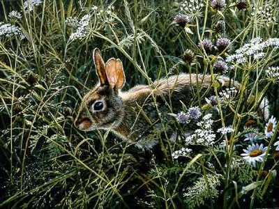 Awakening Meadow – Cottontail- Signed By The Artist – PaperLithograph – Limited Edition – 950S/N – 0x0