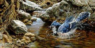 Bathing – Blue Jay- Signed By The Artist – PaperLithograph – Limited Edition – 20P/P – 7 1/8x14