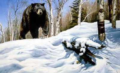 Breaking Cover – Black Bear- Signed By The Artist – PaperLithograph – Limited Edition – 950S/N – 22x31