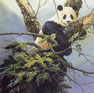 Qinling Panda- Signed By The Artist – PaperLithograph – Limited Edition – 550S/N – 22x22