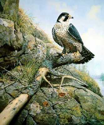River Watch – Peregrine Falcon- Signed By The Artist – PaperLithograph – Limited Edition – 950S/N – 21 1/8x17 3/8 –