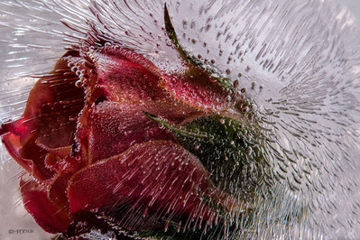 Tea Rose- CanvasGiclee  – Open Edition  – Fine Art  –  24x36